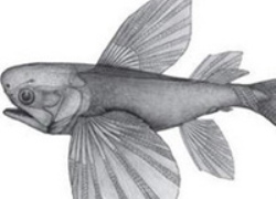 Phát hiện cá bay cổ nhất thế giới