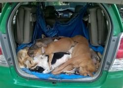 Xe taxi nhét đầy chó trộm
