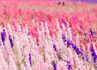 Ngỡ ngàng vẻ đẹp thiên đường hoa mùa hè chỉ mở cửa 7 ngày mỗi năm