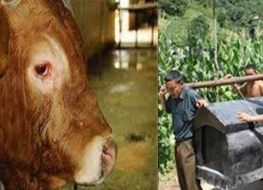 Chủ đột nhiên qua đời, chú bò nuôi lâu năm cứ đứng chặn trước quan tài không chịu cho...