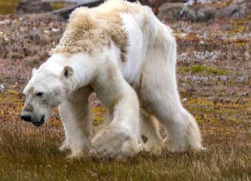 Gấu Bắc cực teo tóp thảm hại lết đi kiếm ăn: Sao không ai cứu?