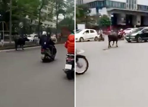 """Trâu """"điên"""" náo loạn đường phố Hà Nội"""