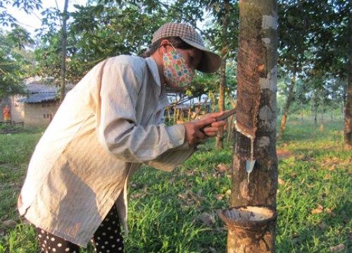 """Triết lý """"6 cây, 2 con"""" đất nghèo Quảng Trị: Bỏ cây cao su? (kỳ 1)"""