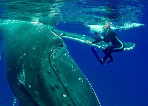 Cá voi khổng lồ dùng vây che chở, cứu nữ thợ lặn khỏi cá mập
