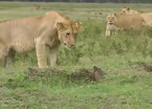 Chó nhỏ hung hãn tung đòn khiến sư tử sợ hãi thoái lui