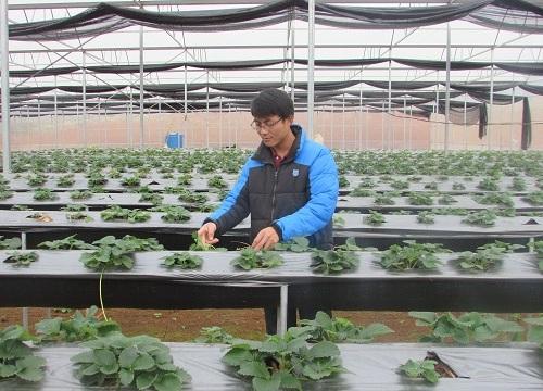 Chàng cử nhân kinh tế về quê trồng dâu tây, lãi nửa tỷ mỗi năm