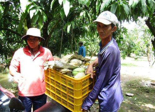 """Nhà nông xứ dừa phất lên nhờ """"cây đổi đời"""""""