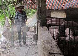 Ninh Bình xuất hiện thêm một ổ dịch tả lợn châu Phi