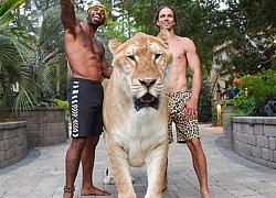 Sửng sốt trước 'quái thú' nửa hổ, nửa sư tử nặng 319kg