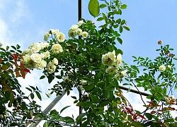 Vườn hồng níu giữ bước chân người ngắm nhờ vẻ đẹp lãng mạn như một bài thơ ở Hà Nam