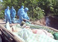 Phú Yên phát hiện dịch tả lợn châu Phi, nâng số tỉnh có dịch lên 58