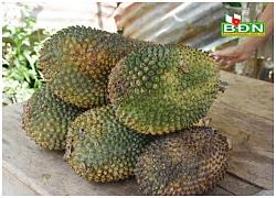 Người dân Đắk Nông đổ xô vào rừng thu hoạch quả dứa to như trái mít