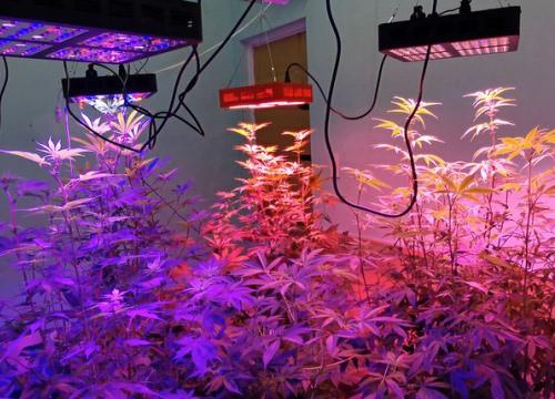 Gắn đèn led, trồng cần sa trong căn hộ