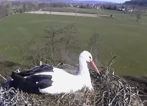 Cò mẹ bắt sống chim cắt đột nhập tổ