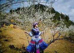Hoa mận nở trắng bản người H'Mông